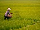 vietnam_rice_a.uzzaman