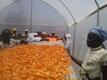 Women spreading mango slices inside the dryer